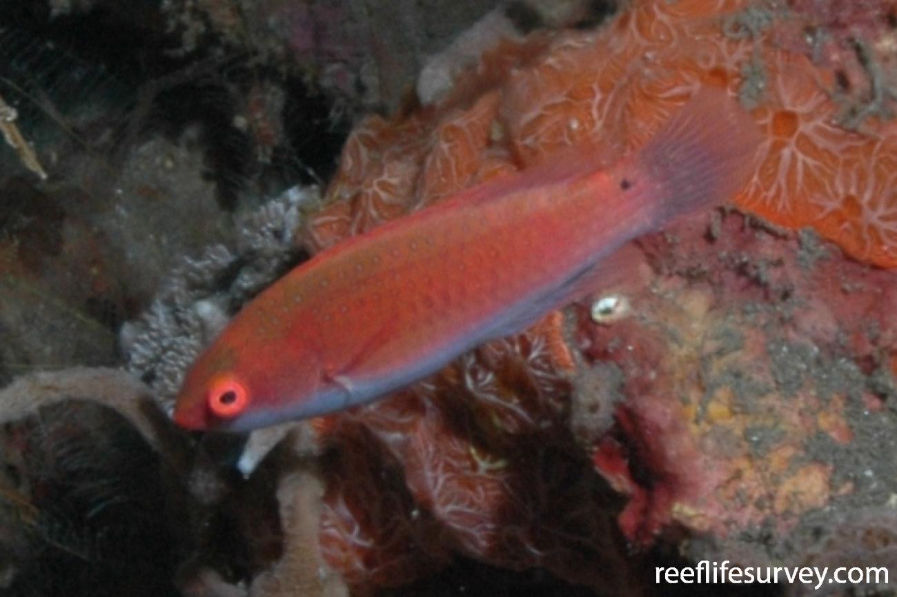 Cirrhilabrus solorensis, Female, Bali, Indonesia,  Photo: Graham Edgar