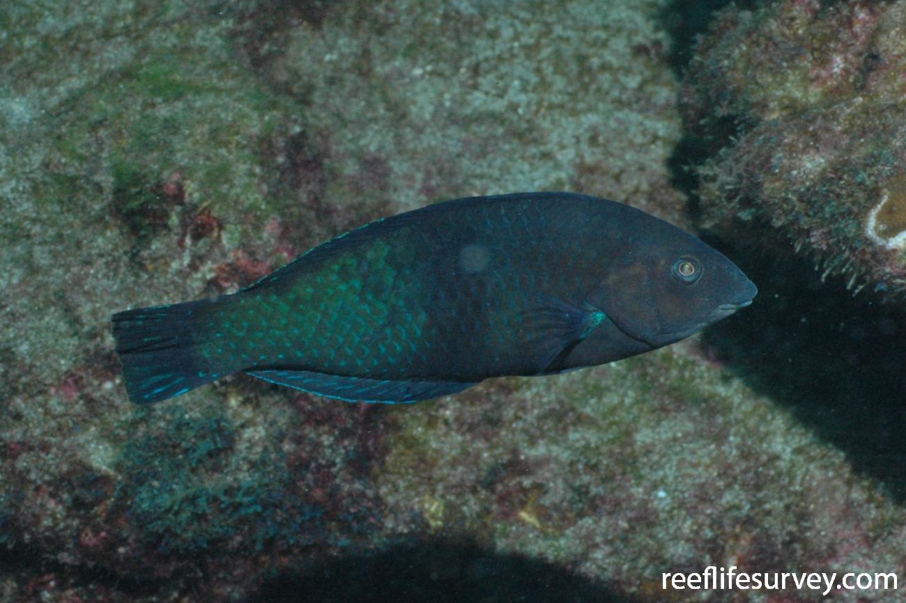 Halichoeres adustus, Cocos Island, Costa Rica,  Photo: Graham Edgar