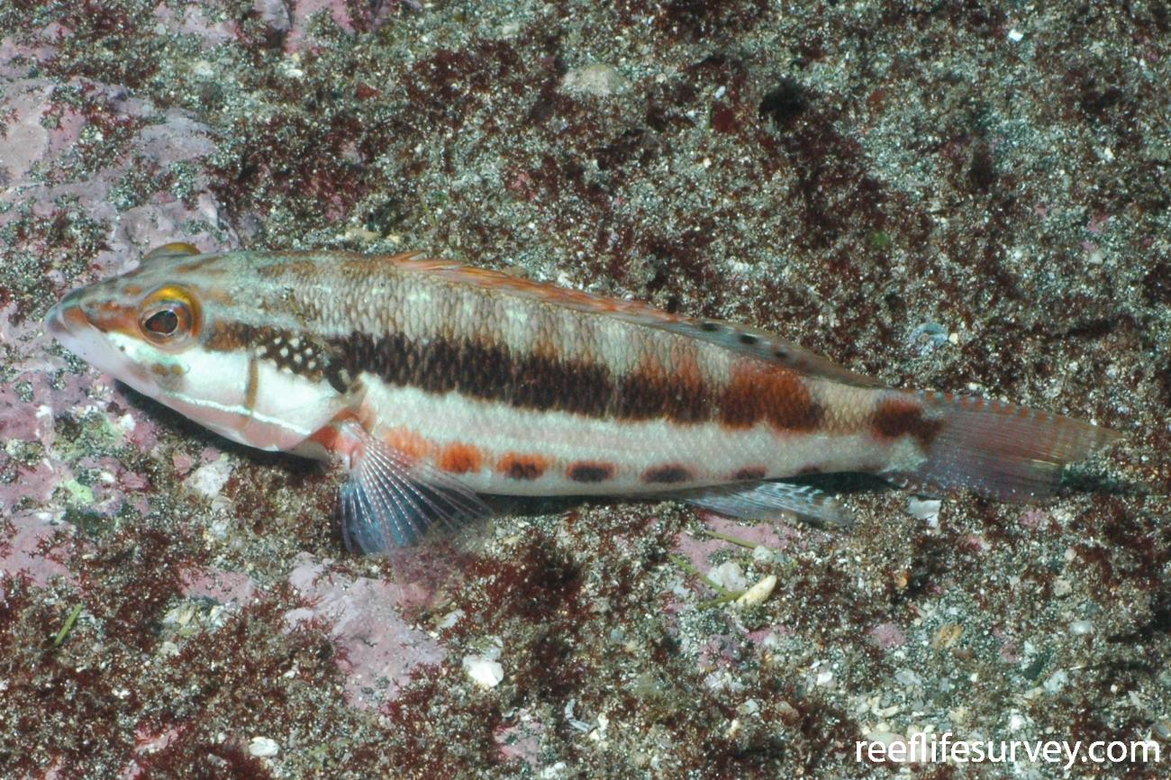 Serranus psittacinus, Galapagos Islands, Ecuador,  Photo: Graham Edgar