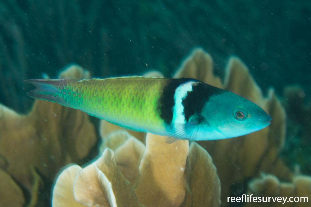 Thalassoma bifasciatum, Bocas del Toro, Panama,  Photo: Rick Stuart-Smith