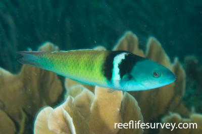 Thalassoma bifasciatum: Bocas del Toro, Panama,  Photo: Rick Stuart-Smith