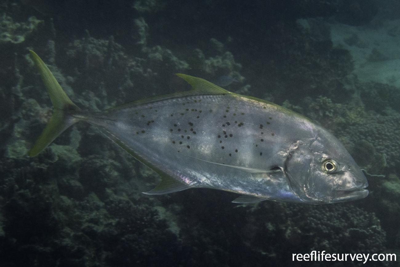 Carangoides fulvoguttatus, Ningaloo, WA,  Photo: Rick Stuart-Smith