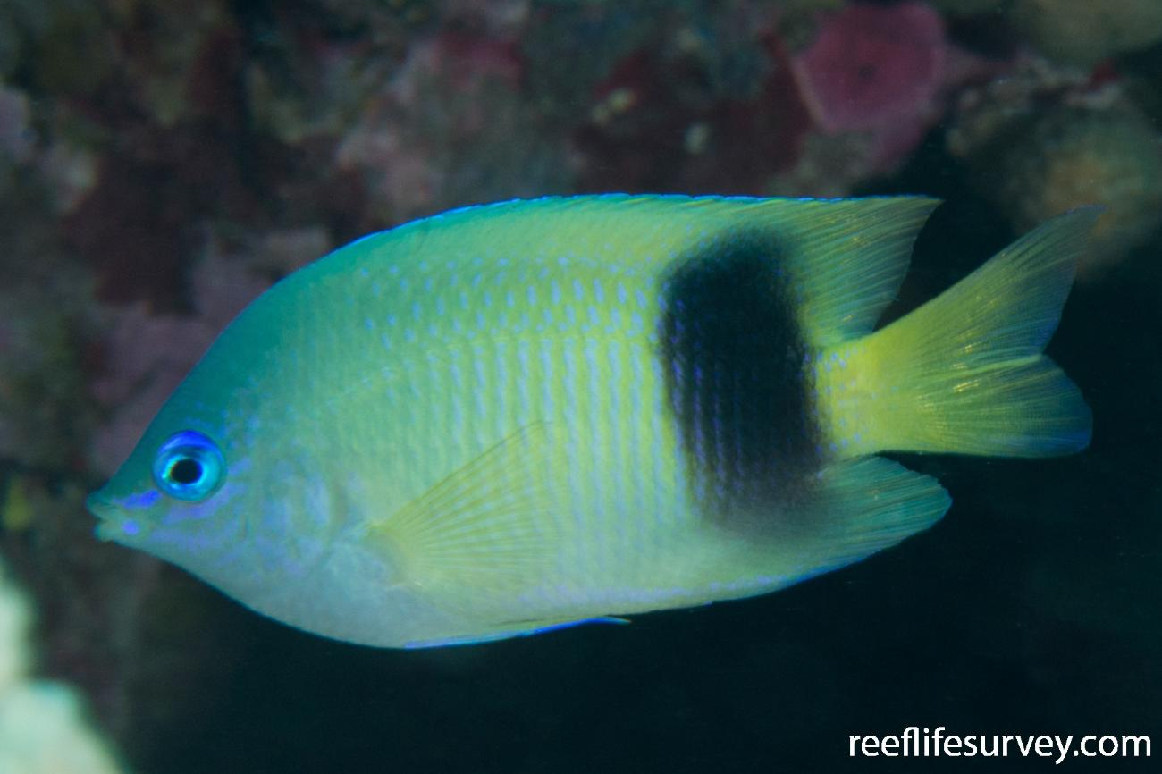 Plectroglyphidodon johnstonianus, Adult.  Photo: Rick Stuart-Smith