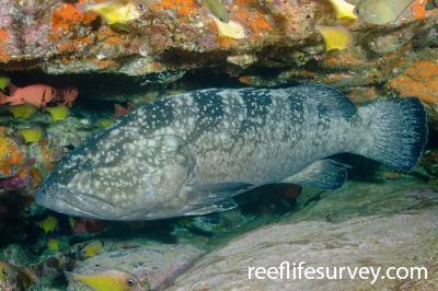Epinephelus daemelii: Adult, Solitary Islands, New South Wales, Australia,  Photo: Ian Shaw
