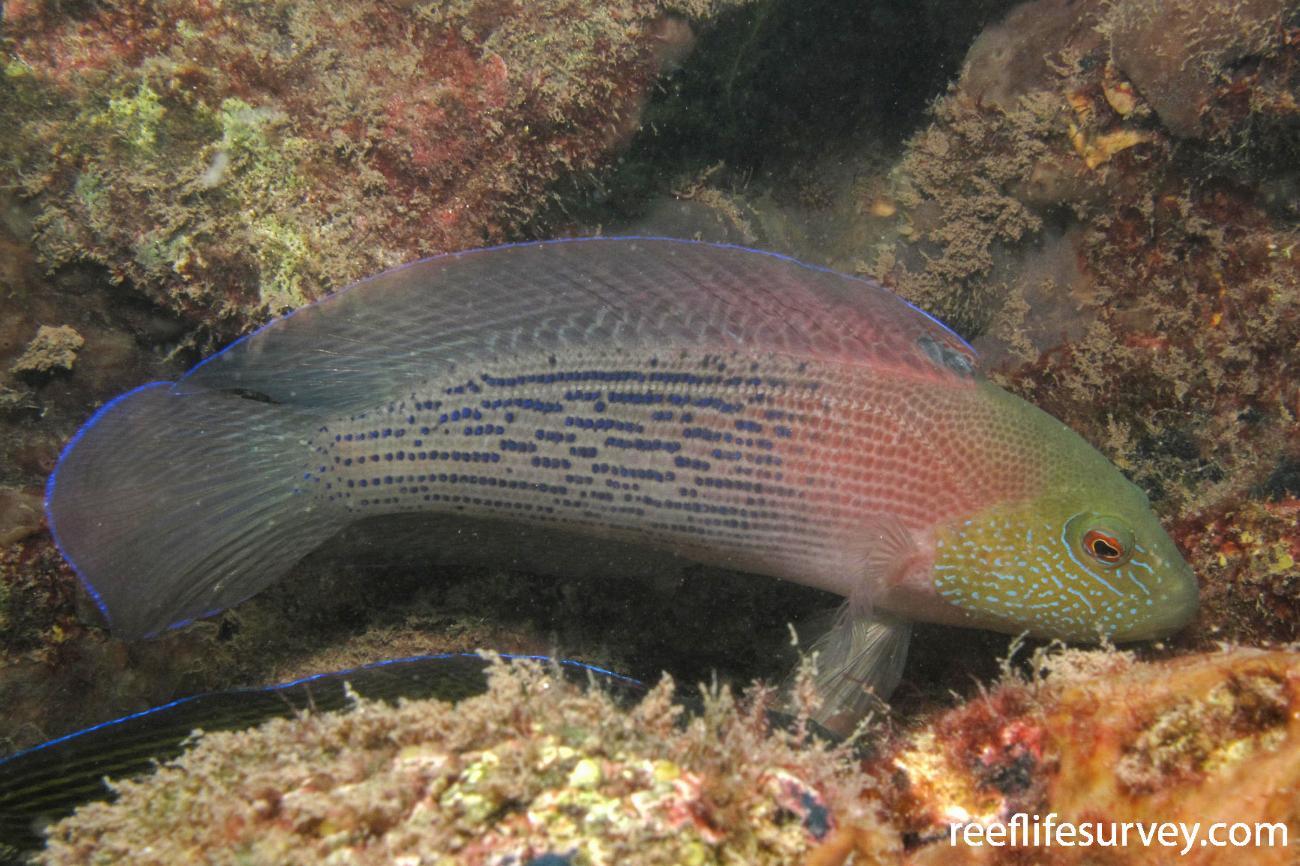 Labracinus lineatus, Shark Bay, WA,  Photo: Andrew Green
