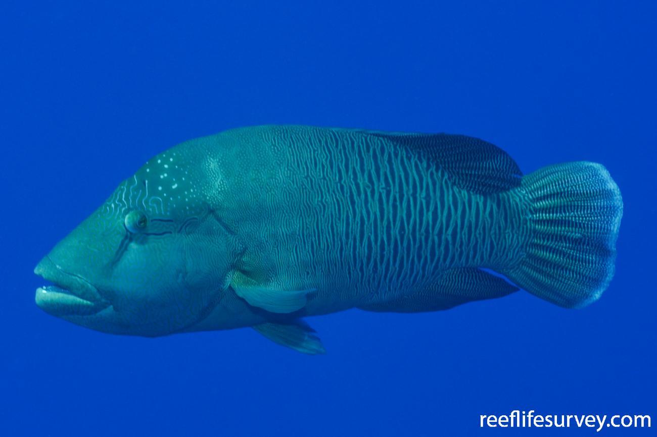 Cheilinus undulatus, Red Sea,  Photo: Rick Stuart-Smith