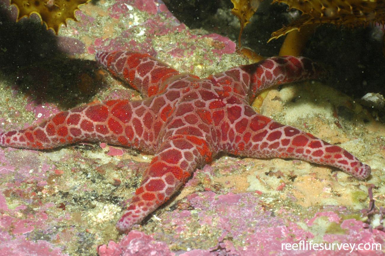 Plectaster decanus, Bass Point, NSW,  Photo: Graham Edgar