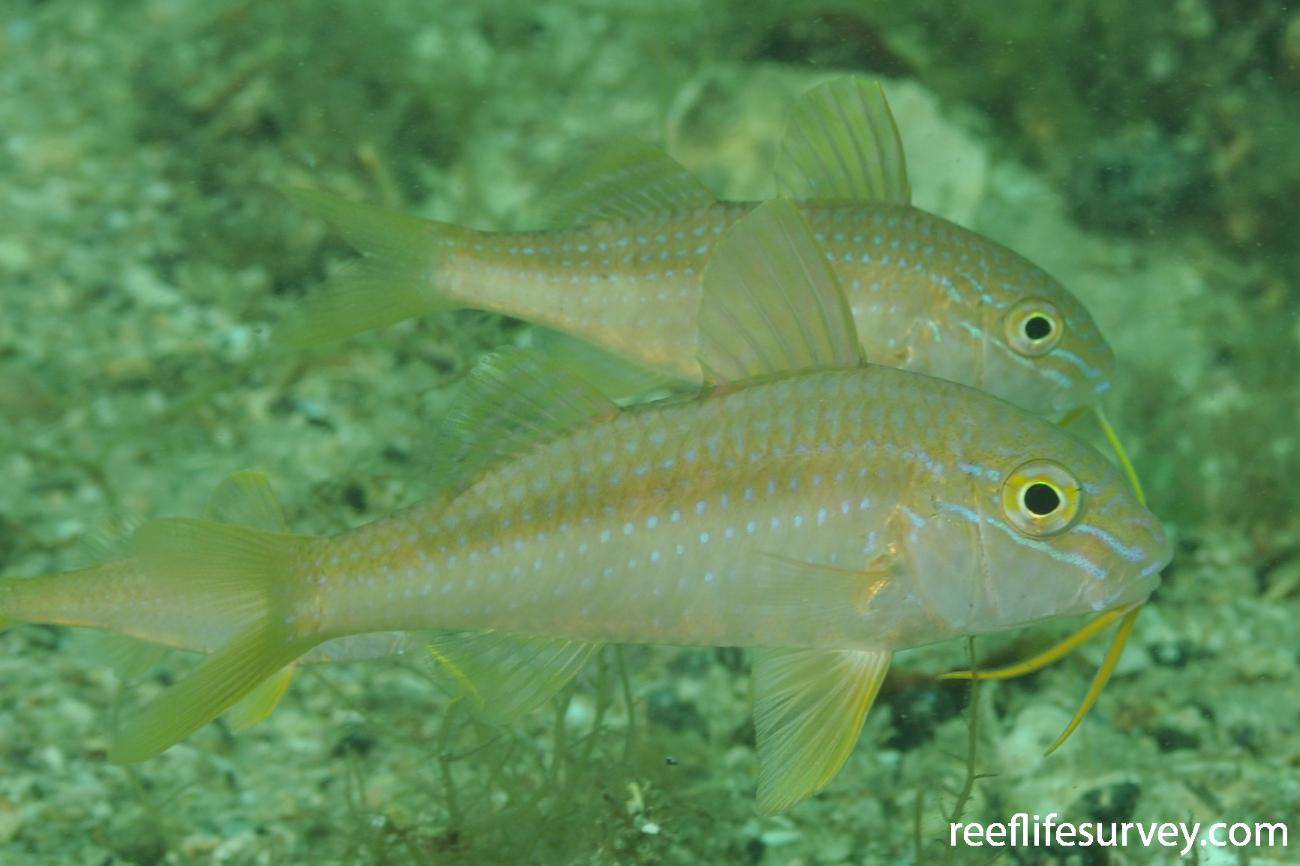 Upeneichthys lineatus, Juvenile, Sydney, NSW,  Photo: Rick Stuart-Smith