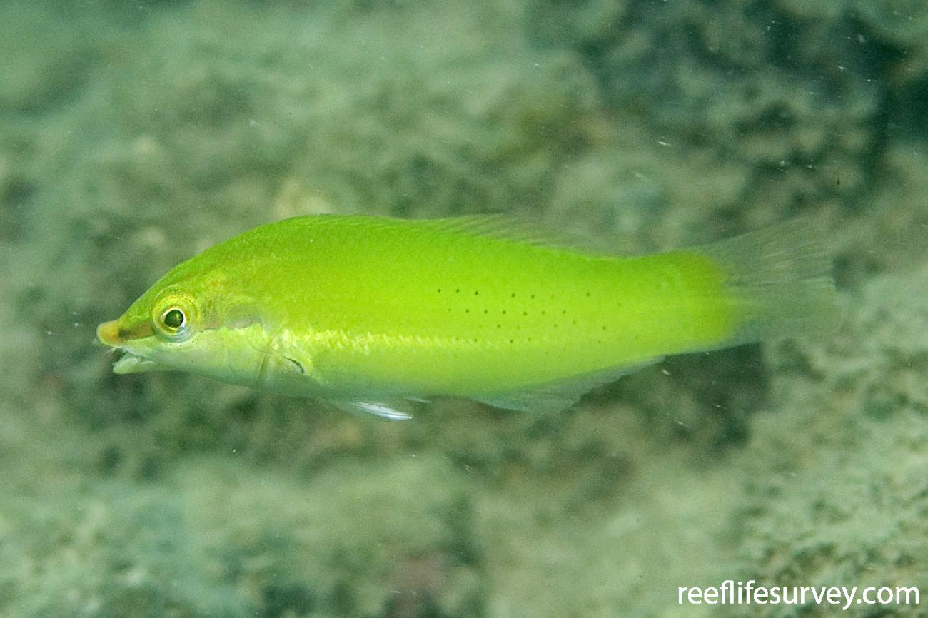 Halichoeres chloropterus, Brook Is, Great Barrier Reef, QLD,  Photo: Andrew Green