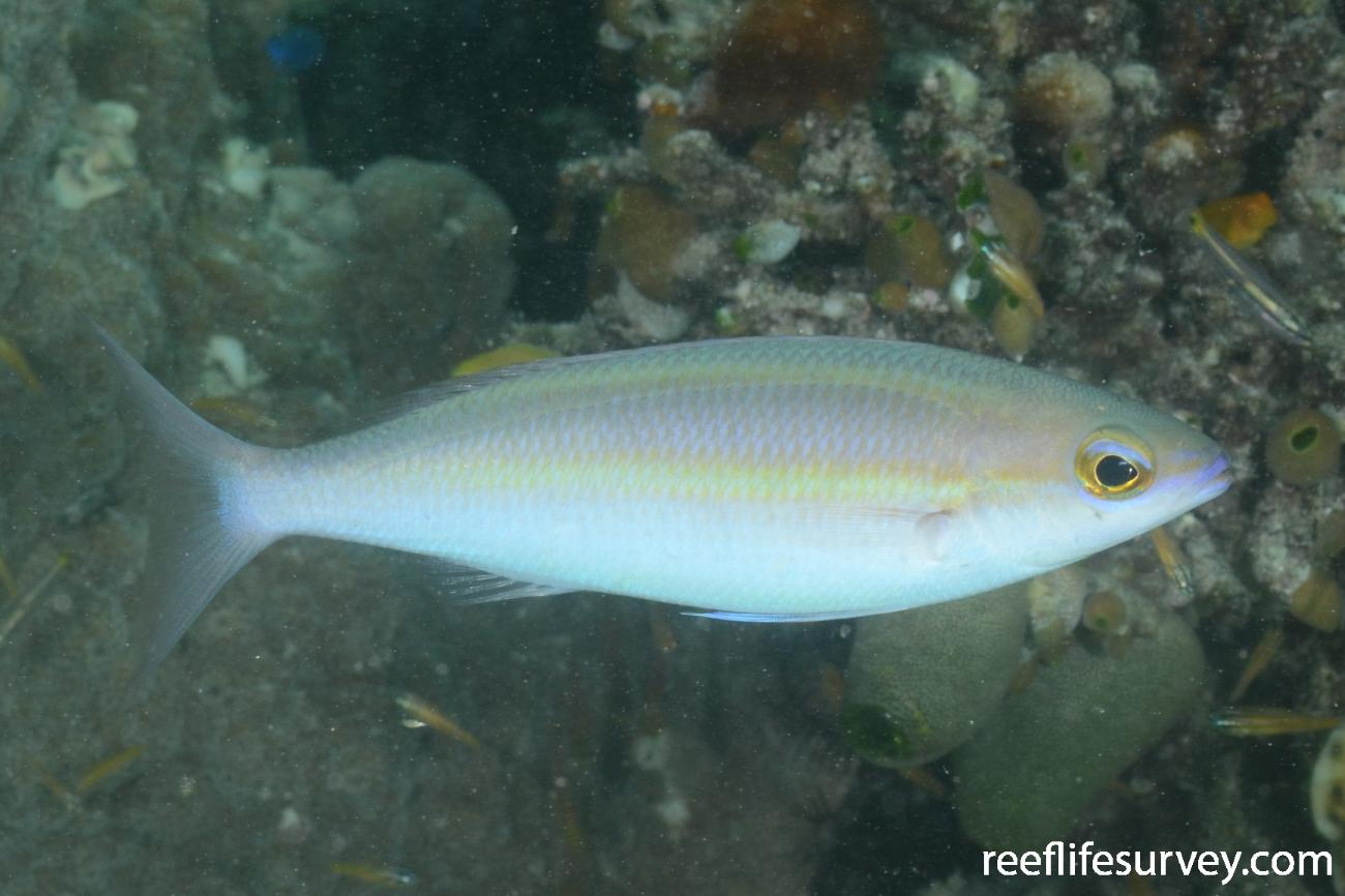 Pentapodus aureofasciatus, QLD, Australia,  Photo: Graham Edgar
