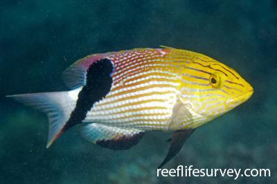 Bodianus loxozonus: QLD, Australia,  Photo: Andrew Green