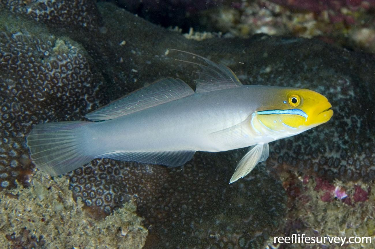 Valenciennea strigata, Jervis Bay, NSW,  Photo: Andrew Green