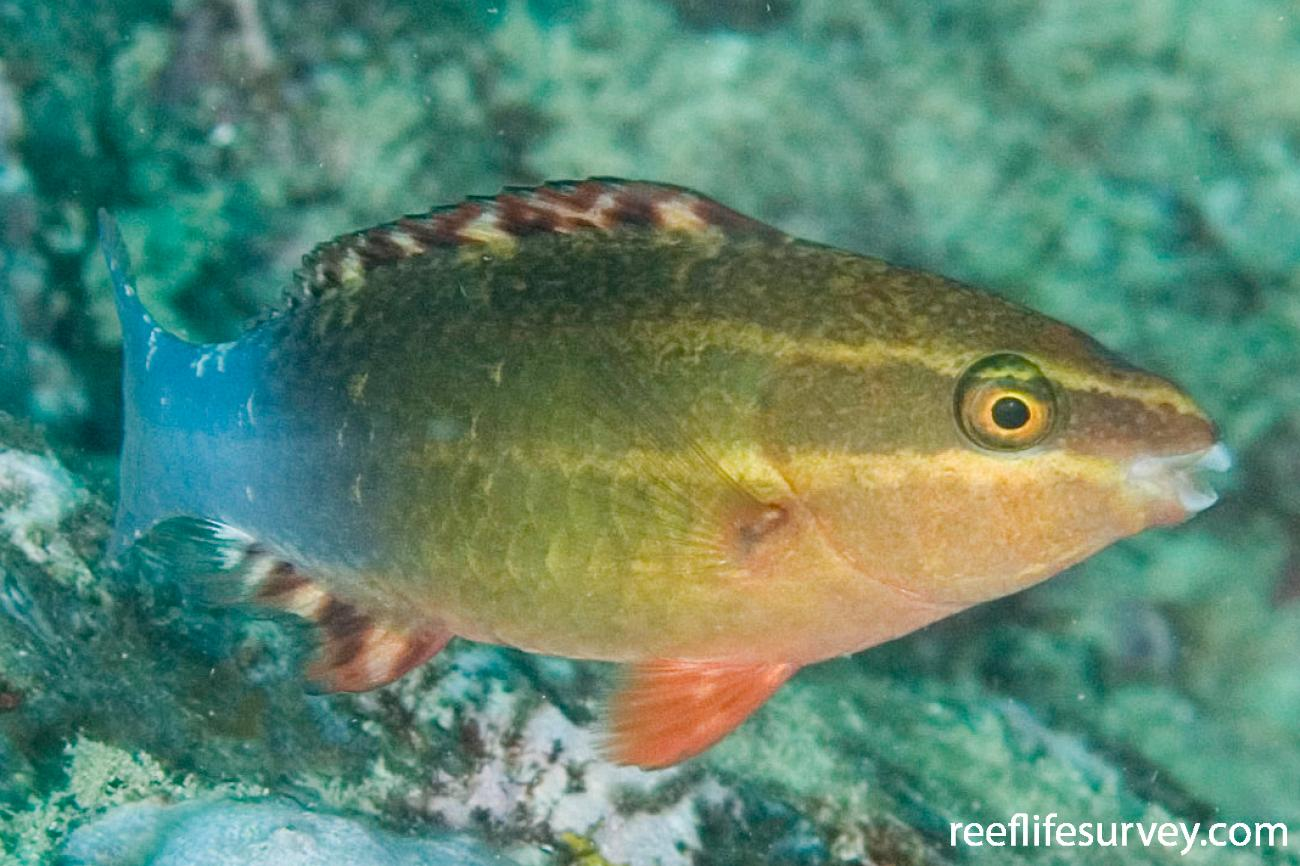 Scarus frenatus, Juvenile, Murion Is, WA,  Photo: Andrew Green