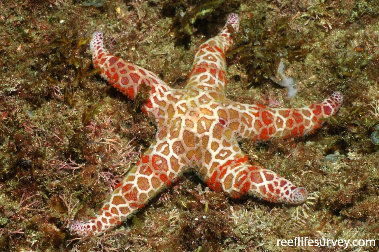 Plectaster decanus, Jervis Bay, NSW,  Photo: Graham Edgar