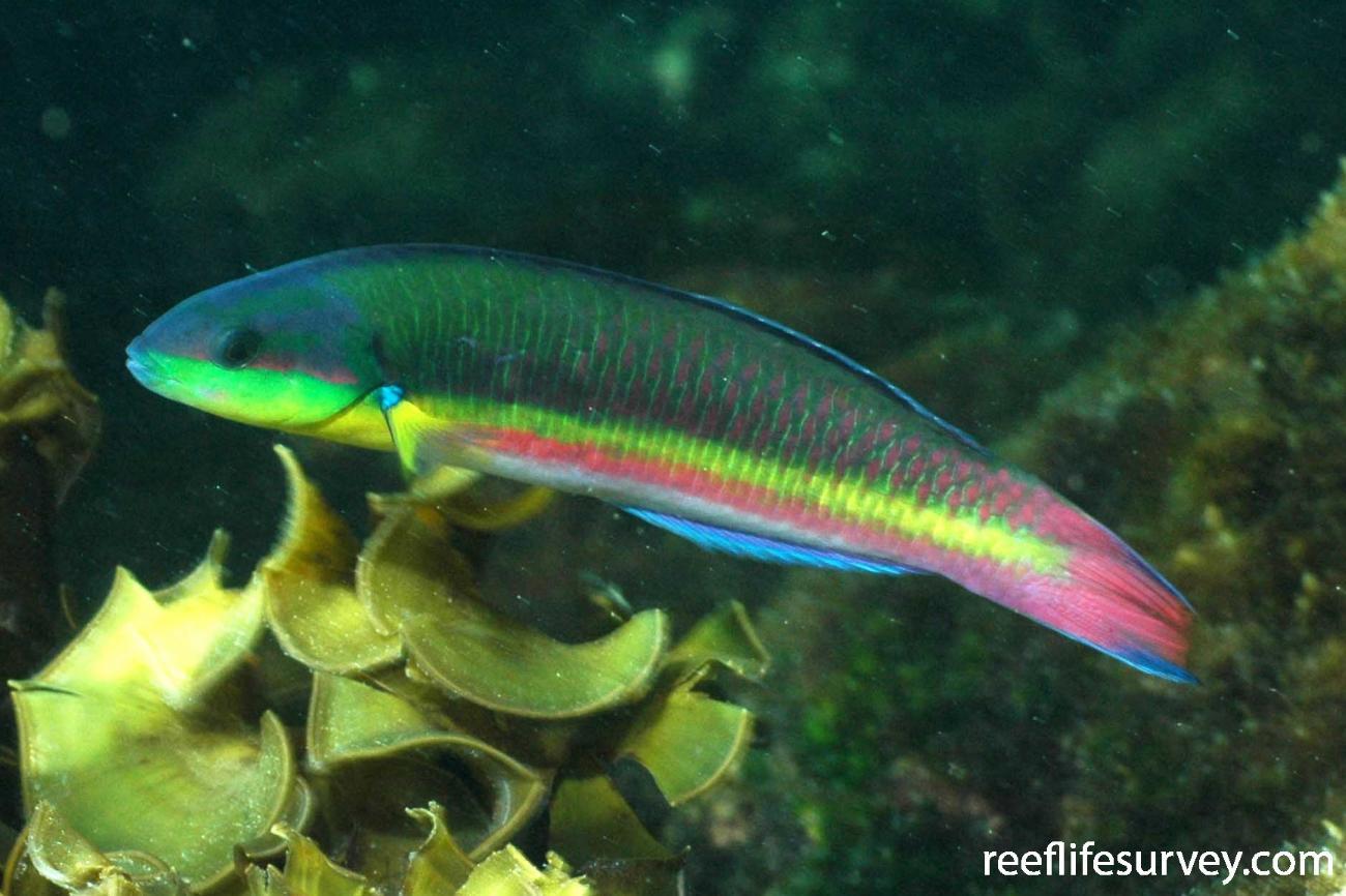 Thalassoma lucasanum, Female, Galapagos Islands, Ecuador,  Photo: Graham Edgar