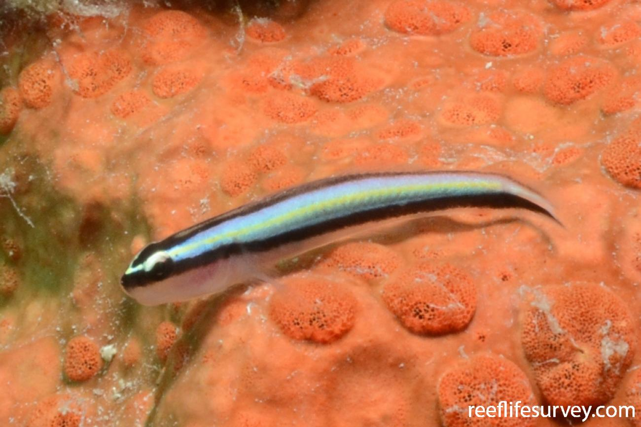 Elacatinus genie, Providencia, Colombia,  Photo: Graham Edgar