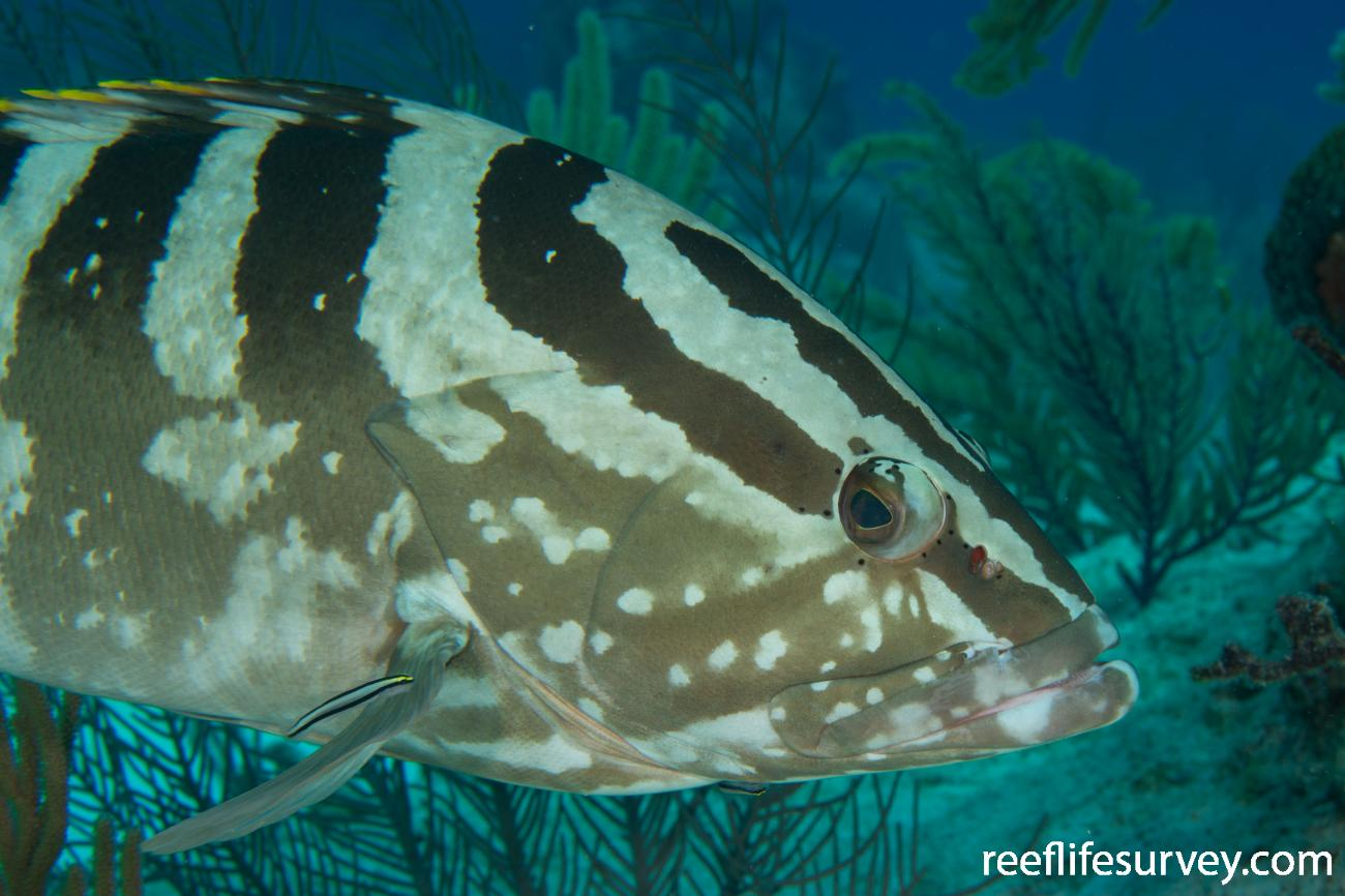 Epinephelus striatus, Turks & Caicos,  Photo: Rick Stuart-Smith