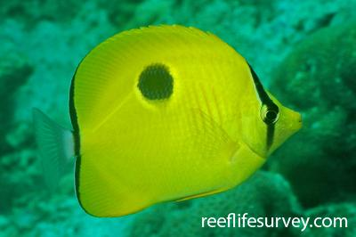 Chaetodon interruptus: Adult, Rubiah Island, Aceh, Indonesia,