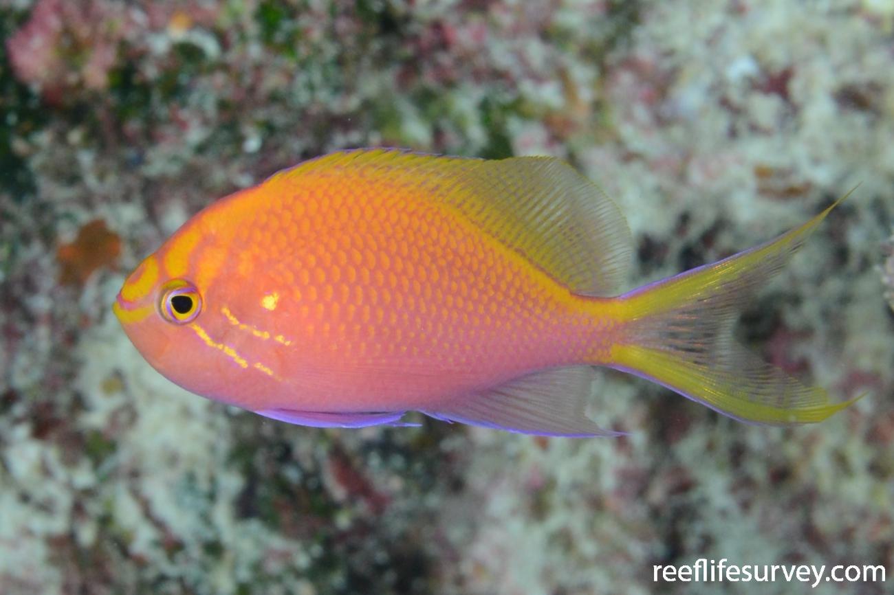 Serranocirrhitus latus, Lihou Reef, Coral Sea,  Photo: Graham Edgar