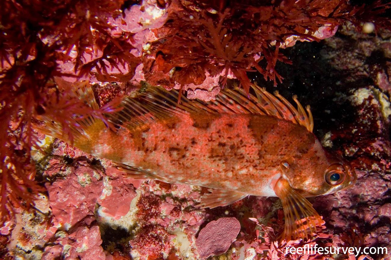 Chironemus maculosus, Rottnest Is, WA,  Photo: Andrew Green