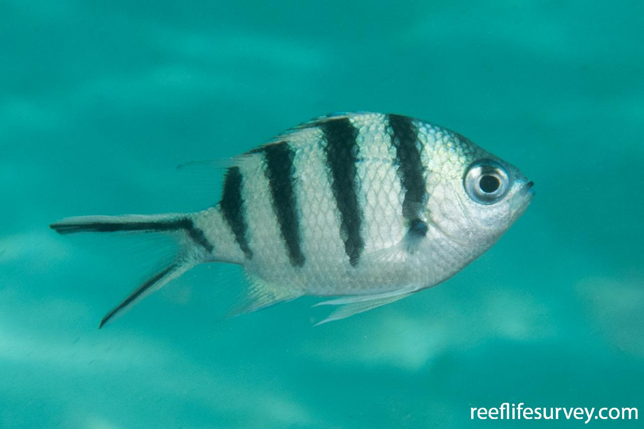 Abudefduf sexfasciatus, WA, Australia,  Photo: Rick Stuart-Smith