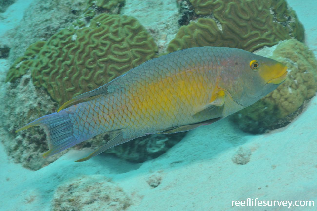 Bodianus rufus, Bonaire,  Photo: Rick Stuart-Smith