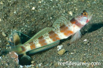 Amblyeleotris periophthalma: Adult, Bali, Indonesia,  Photo: Ian Shaw
