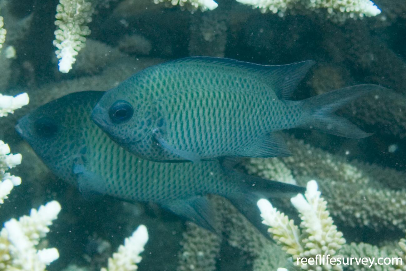 Acanthochromis polyacanthus, Halfway Is, Qld,  Photo: Andrew Green