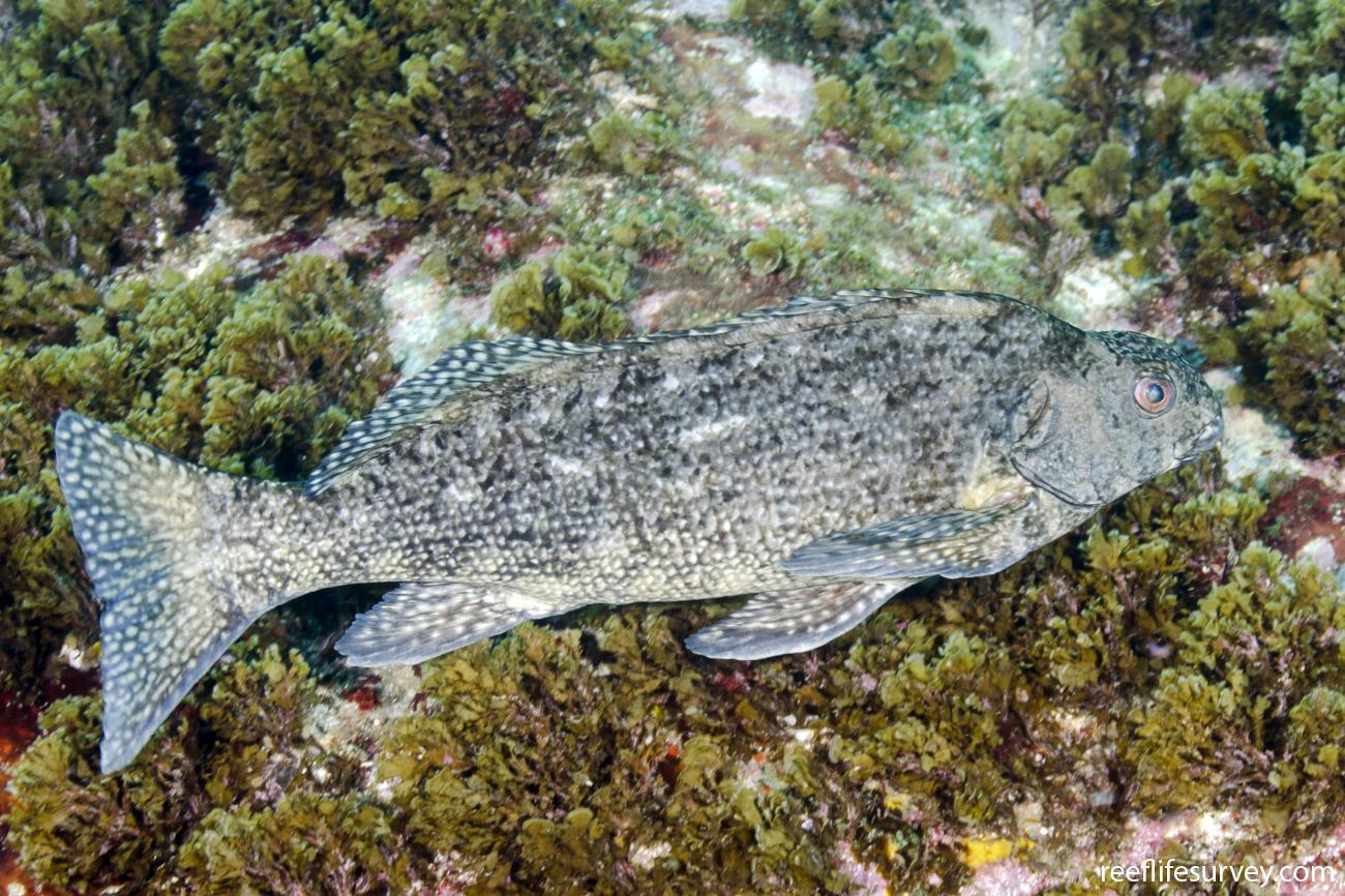 Aplodactylus lophodon, Adult, Coffs Harbour, NSW,  Photo: Ian Shaw