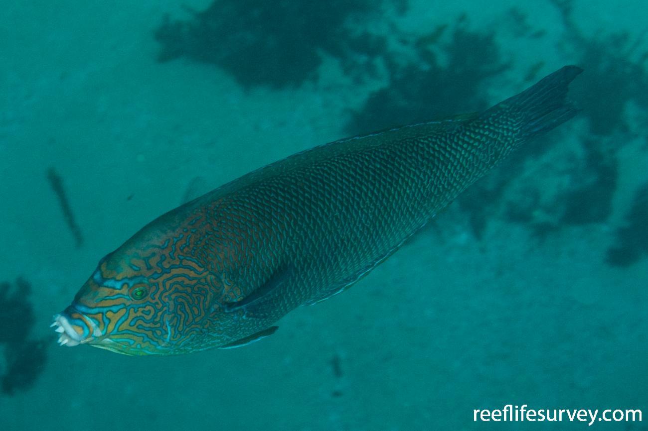 Anampses geographicus, Male, WA, Australia,  Photo: Rick Stuart-Smith