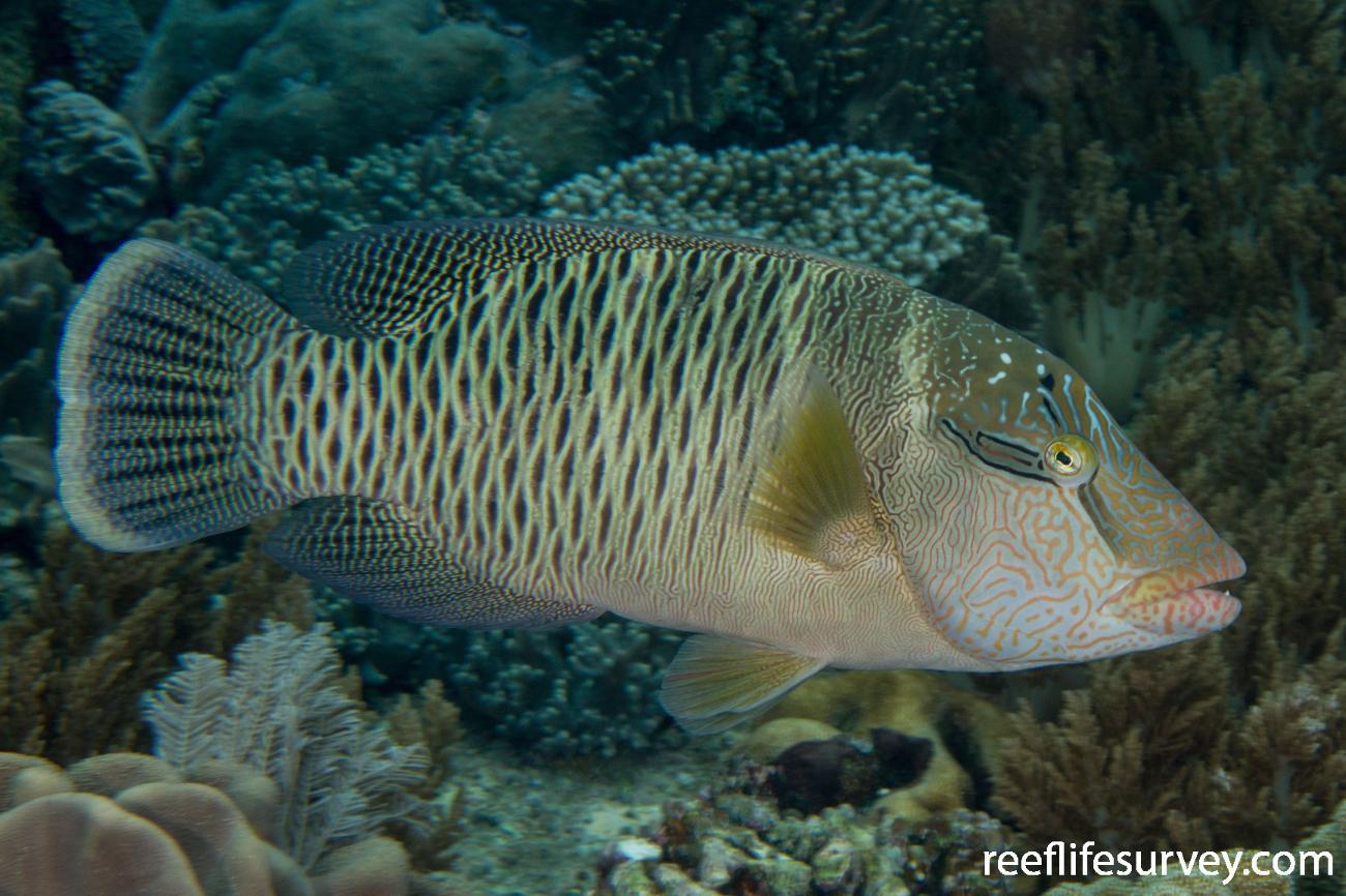 Cheilinus undulatus,  Photo: Rick Stuart-Smith