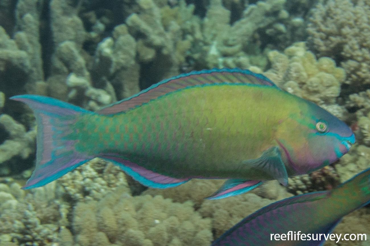 Scarus psittacus, QLD, Australia,  Photo: Rick Stuart-Smith