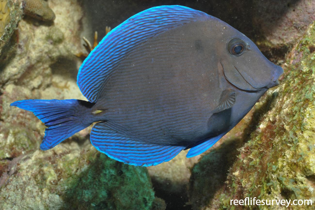 Acanthurus coeruleus, Bonaire,  Photo: Rick Stuart-Smith