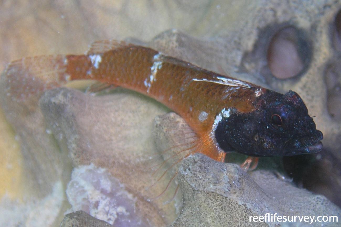 Enneapterygius larsonae, Perth, WA,  Photo: Tom Davis