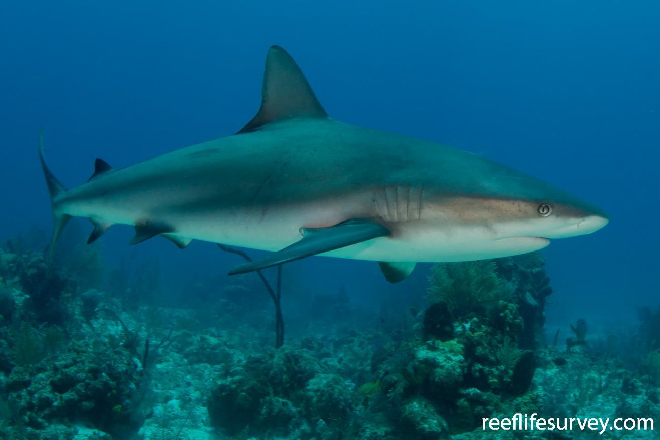 Carcharhinus perezii, Turks and Caicos,  Photo: Rick Stuart-Smith