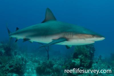 Carcharhinus perezii: Turks and Caicos,  Photo: Rick Stuart-Smith