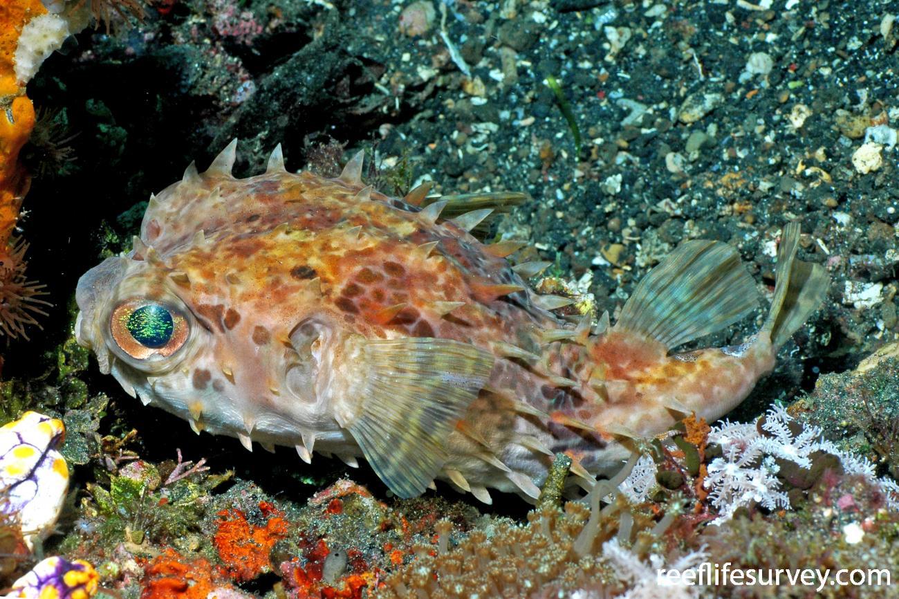 Cyclichthys orbicularis, Lembeh, Sulawesi,  Photo: Ian Shaw