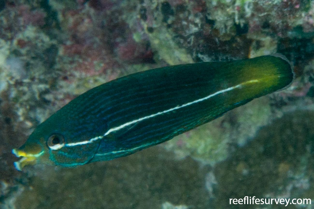Labrichthys unilineatus, Juvenile.  Photo: Rick Stuart-Smith