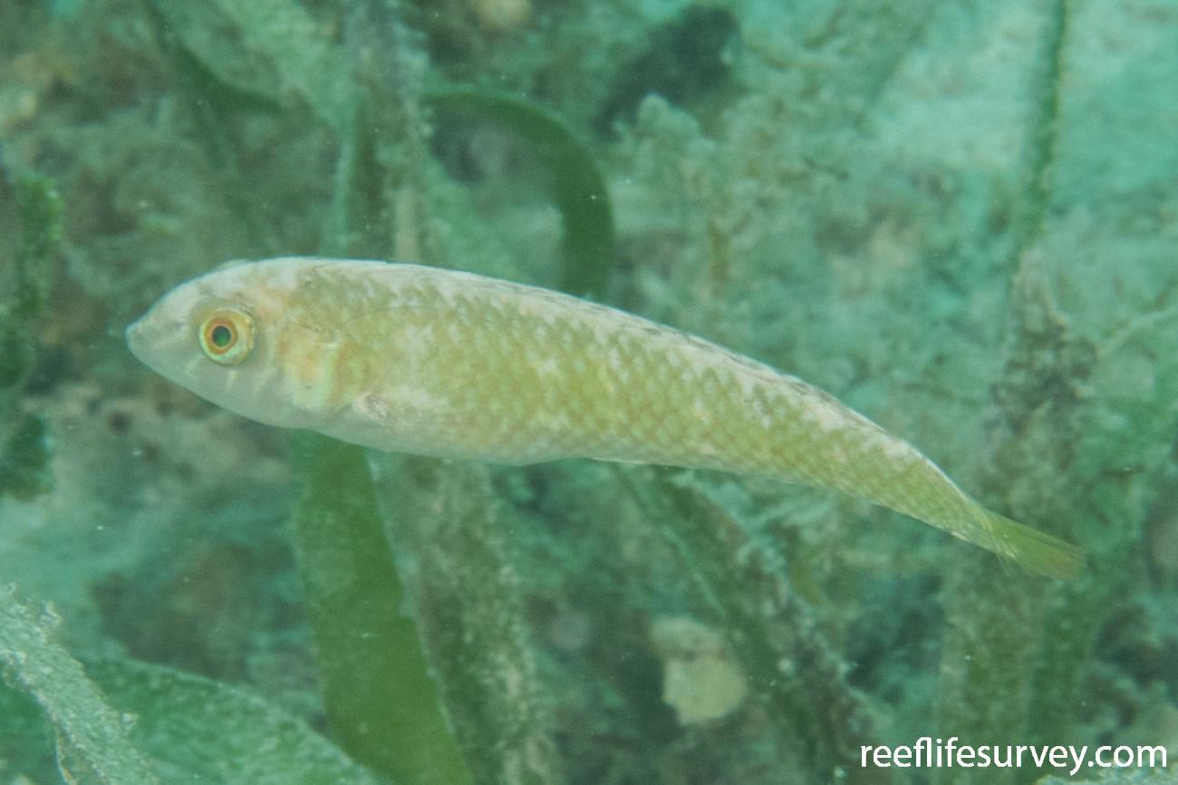 Xyrichtys splendens, Belize,  Photo: Rick Stuart-Smith