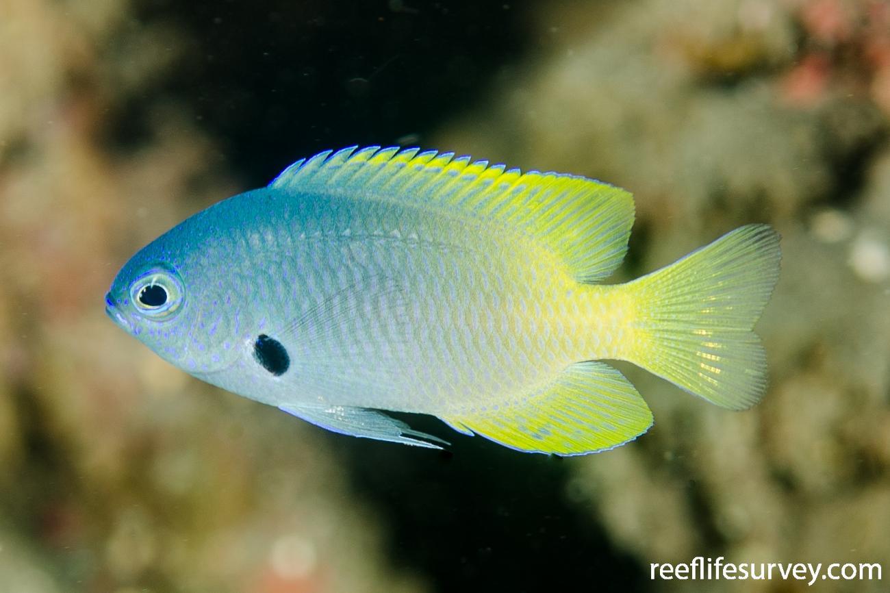Pomacentrus nigromarginatus, Bali, Indonesia,  Photo: Ian Shaw