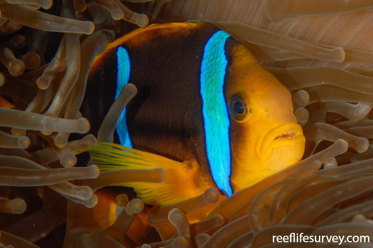 Amphiprion chrysopterus, Adult, Ha'apai Is, Tonga,  Photo: Andrew Green