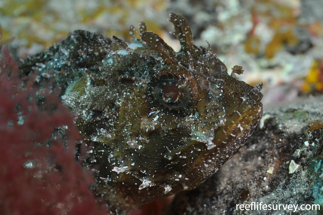 Scorpaena porcus,  Photo: Rick Stuart-Smith