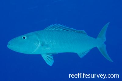 Aprion virescens: Frederick Reef, Coral Sea,  Photo: Graham Edgar
