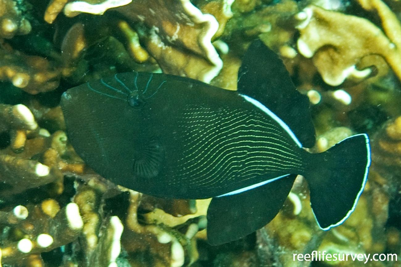 Melichthys indicus, Aceh, Indonesia,  Photo: Ian Shaw