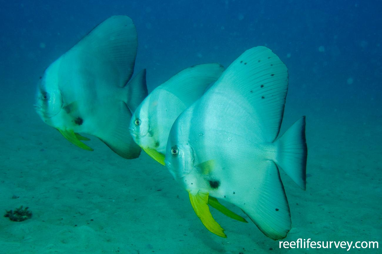 Platax teira, Great Keppel Is, QLD,  Photo: Andrew Green