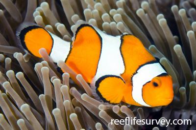 Amphiprion ocellaris: Bali, Indonesia,  Photo: Ian Shaw