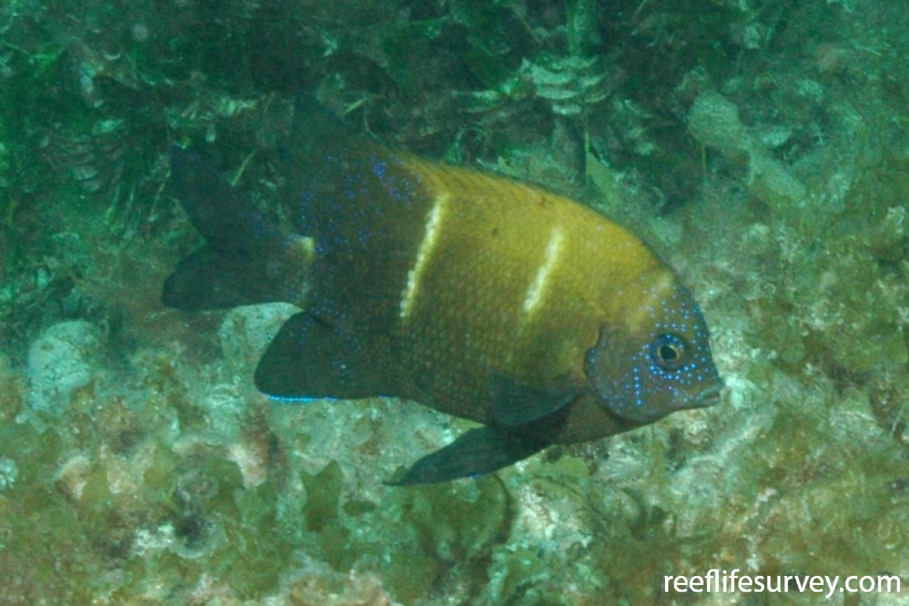Parma occidentalis, Juvenile, Abrolhos Is, WA,  Photo: Graham Edgar