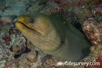 Gymnothorax funebris: Belize,  Photo: Rick Stuart-Smith