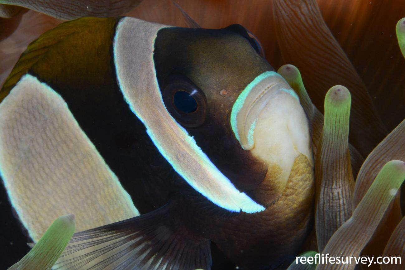 Amphiprion latezonatus, Norfolk Island, Australia,  Photo: Rick Stuart-Smith