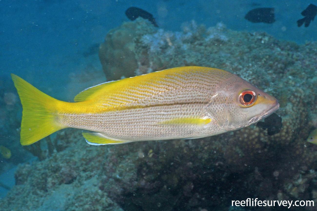 Lutjanus vitta, Adult, Great Barrier Reef, Australia,  Photo: Graham Edgar